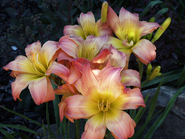 Multiple blooms showing feathered eye pattern on 'Ambrosia Rose' daylily in the early morning.