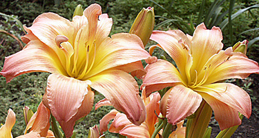 A pair of 'Ambrosia Rows' daylily blooms in mid-morning.