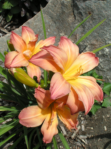 A trio of 'Ambrosia Rows' daylily blooms in mid-afternoon.