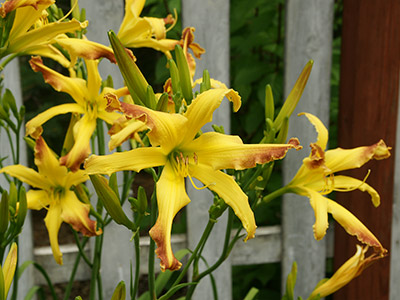 'Cinnamon Crunch' daylily clump in full bloom with numerous buds waiting to open.