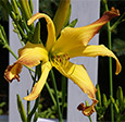 'Cinnamon Crunch' (Lamb-K. 2013). Gold with bronze tips, an Unusual Form daylily. J.C. Winner. Diploid.