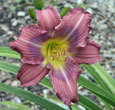 Thumbnail photo of 'Grape Kiss' daylily.